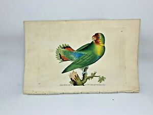 Guinea Parrakeet - 1783 RARE SHAW & NODDER Hand Colored Copper Engraving