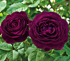 20 Purple Rare Rose Fresh Seeds, Exotic Purple Rose Flower Home Garden Plant