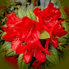 10 Azalea plant cuttings Tsutsuji Pentanthe Rhododendron plants cuttings seeds