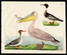 Rare Antique Bird Print-RED BREASTED MERGANSER-GREAT WHITE PELICAN-Strack-1819