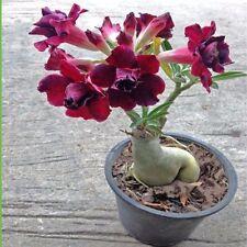 2018 New Rare Adenium Obesum Desert Rose Plant Bonsai Double-Flowered (Violet)