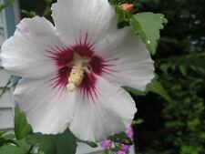 50 WHITE & HOT PINK ROSE OF SHARON HIBISCUS Syriacus Flower Tree Bush Seeds