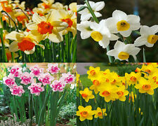 400Pcs Mixed Narcissus Seeds Scented Pastel Mixed Daffodil Home Garden Flowers