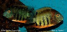 "(6) .5-1"" Red Head Severum TR Heros sp. Rotkiel Live Freshwater Tropical Cichlid"