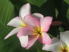 One Plumeria Rooted Cutting White Yellow Pink 5-8 Inches