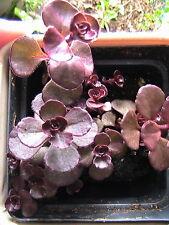 15 Dragon Blood Sedum Succulent Groundcover Sempervivum Seeds