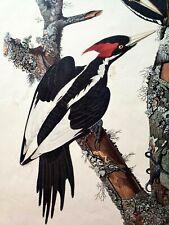 Vintage Audubon IVORY-BILLED WOODPECKER No. 14 Lithograph Print on Paper