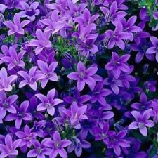 More details for 3x campanula muralis hardy evergreen bellflower flower well rooted plug plants