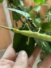 20 Œufs/eggs Of Diapherodes Jamaicensis (phasme/stick-insect/phasmid) BEAUTIFUL