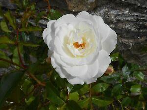 1 Hybrid Tea Rose Bush, White Parfum De Provence, in 4 litre pot.