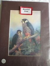 More details for hobbies by archibald thorburn 1925 bird of prey mounted print for framing