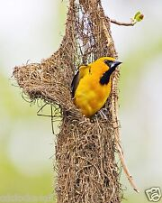 Oriole In Nest / BIRD 8 x 10 / 8x10 GLOSSY Photo Picture Image #6
