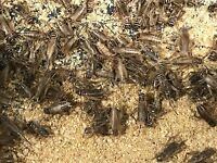 500 Count Live Feeder Crickets Includes FedEx 2 Day Shipping
