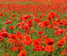 Red Corn Poppy American Legion Papaver Rhoeas - 75,000 Bulk Seeds