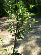 4ft live Northstar Cherry Dwarf Tree Cherries Trees Now Ship to all 50 States US