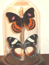 Pandora & Madagascan Egg-fly Butterfly Dome