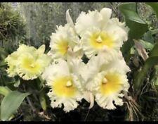 Rlc Siam White Nbs 4� Pot (15) Sh#41