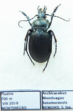 Carabus archicarabus montivagus sutomorensis (male A1) from MONTENEGRO