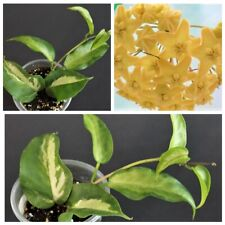 Hoya kenejiana variegata 'Nugget' pianta (no Philodendron, no Syngonium)