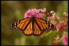 052072 Monarch A4 Photo Print