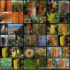 8 Banksia 2 Types Native Plants Hardy Australian Trees Shrubs Flower Cones