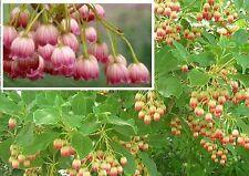 Prachtglocke Stecklinge kleine Bäume für den Garten exotisch mediterran robust