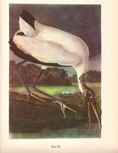 Wood Ibis Art Print by John James Audubon