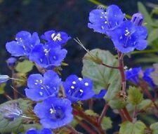 English bluebells Hyacinthoides non-scripta 2018 harvest 150 SEEDS Bluebell