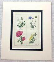 1824 Antik Botanische Aufdruck Pfingstrose Cytisns Blumen Maund Hand Bunt Gravur