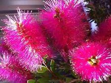 PINK CHAMPAGNE BOTTLEBRUSH SEEDS CALLISTEMON GARDEN POT FLOWER 300 SEED PACK