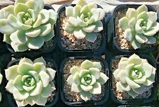 Echeveria Rose Queen in 65mm square pot  cacti and succulents