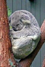 More details for koala bear photograph picture print