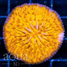 New listing Asd - 063 Blazing Hot Plate Coral - Wysiwyg - Aqua Sd Live Coral Frag