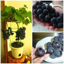 20Pcs Sweet Grape Fruit Seeds Dwarf Kyoho Deep Purple Vitis Grape Bonsai Seeds