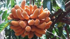 10 pcs Uvaria Grandiflora Seeds Very RARE from Thailand :V010