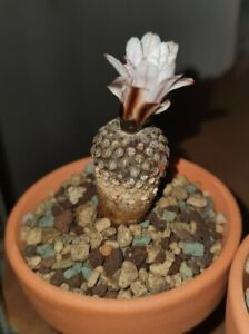"Turbinicarpus ""Valdezianus""  cacti kakteen  cactus sukkulent suculenta succulent"
