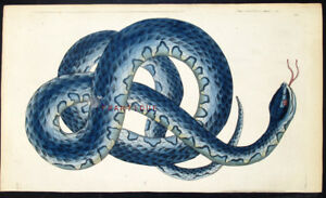 1783,RARE SHAW & NODDER Painted By Hand ENGRAVING FASCIATED SNAKE VA5