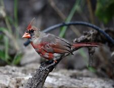 METAL REFRIGERATOR MAGNET Female Cardinal On Branch Bird Birds Cardinals