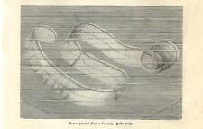 Stampa antica CTENOPHORA Cinto di Venere Cestum veneris 1891 Old antique print