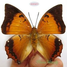 unmounted butterfly Nympalidae charaxes aristogiton GUANGXI  A1