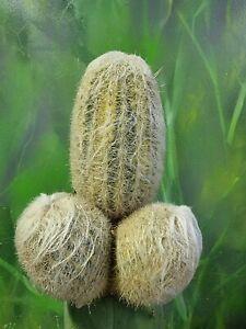 Espostoa nana variegated Rare Collectors Cactus Clone 🌵