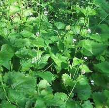 Wildflower Seeds-Garlic Mustard - 400 Semi