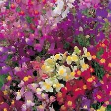 2,500 Toad Flax Seeds Linaria Maroccana  FLOWER SEEDS