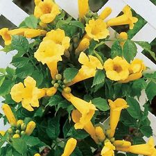 30 Yellow Flowered Trumpet Vine Seeds - Campsis radicans 'Flava'