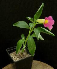 Pterodiscus elliotii,Caudex,Euphorbia,Bulb