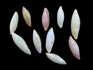 Sea Shells - Naviculavolva elegans 15-18mm 10pcs