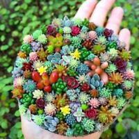 100 * Mini Succulent Cactus Seeds Rare-Perennial Herb Plants Home Garden Bo N0J8
