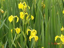 40 wasserreinigende Pflanzen Teichpflanzen, Filterpflanzen, Repositionspflanzen