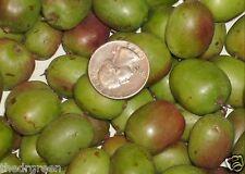 100 Hardy Kiwi Berry Seeds Actinidia arguta Issai Baby Cocktail Arctic Kiwifruit
