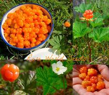 Rare & Special! Cloudberry (Rubus chamaemorus) Artic raspberry FRESH 2018 Seeds.